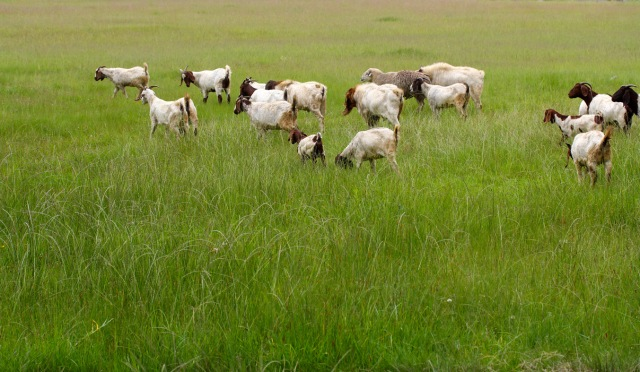 Goats grazing the fields_0158